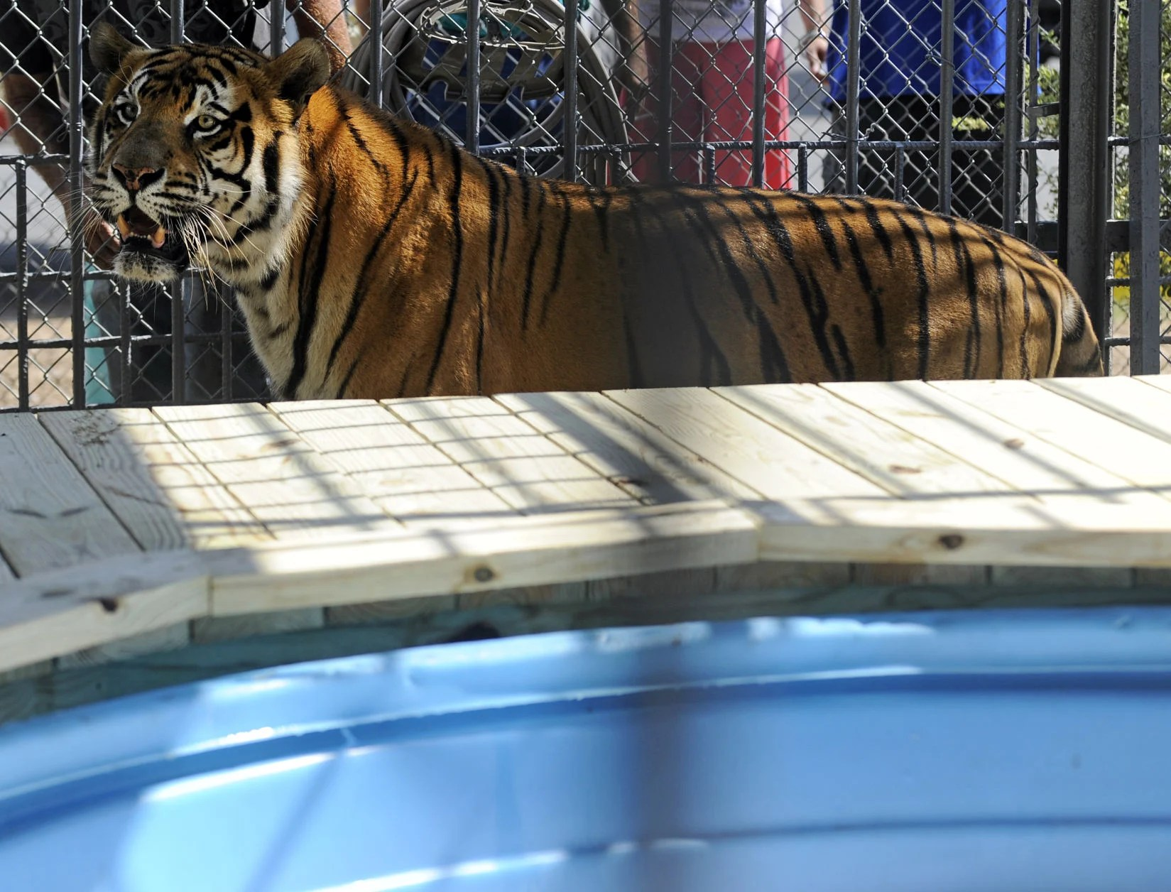 Tiger Größe Tony The Grosse Tete Truck Stop Tiger Euthanized After Spending