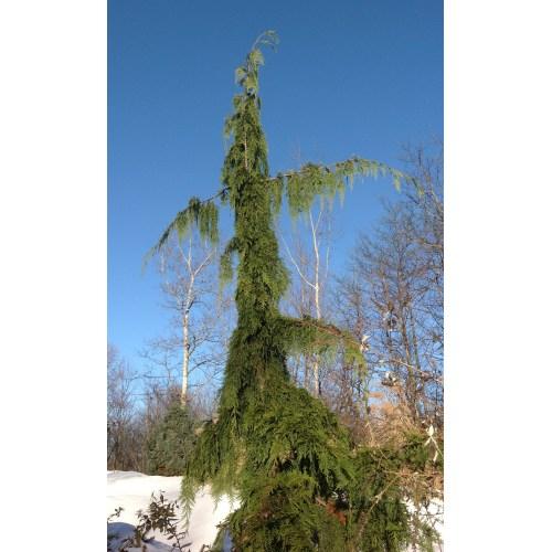 Medium Crop Of Weeping Alaskan Cedar