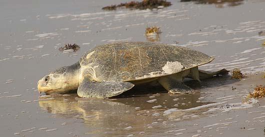 BP burning endangered species in oil spill clean up efforts
