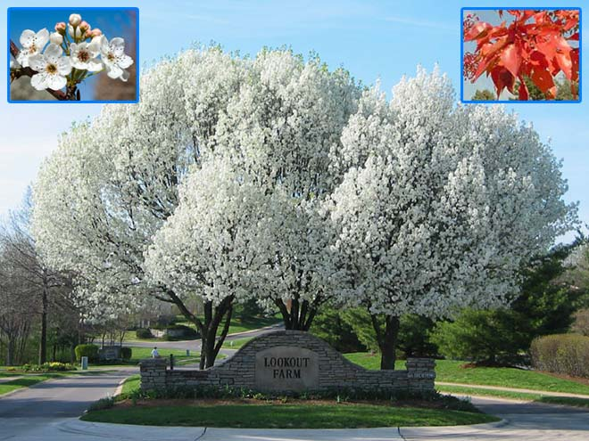 Pistache Plant Trees - For North Texas Deciduous And Evergreen Shade Or