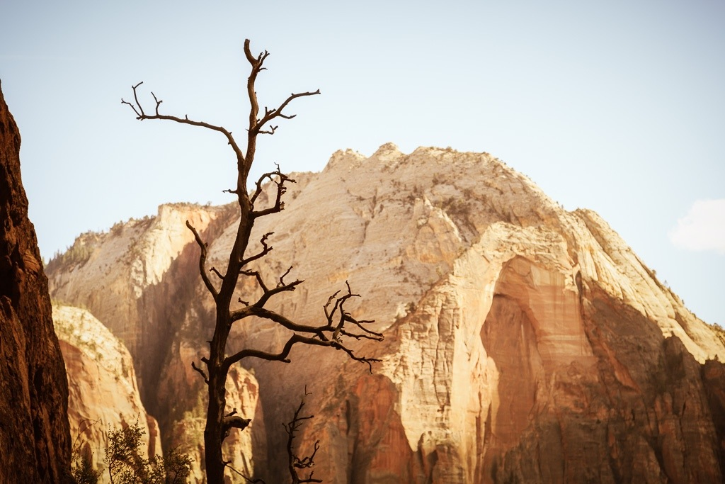 Dead Tree In Zion National Park