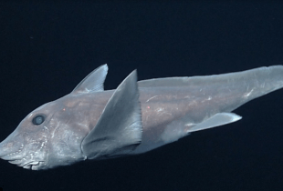 ct-ghost-shark-captured-on-camera-20161217