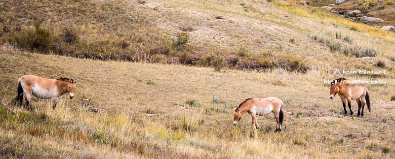 A day in Khustain Nuruu, where the Przewalski's live