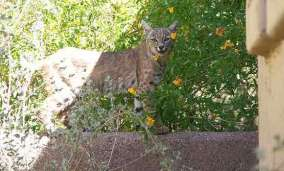cougars in scottsdale az