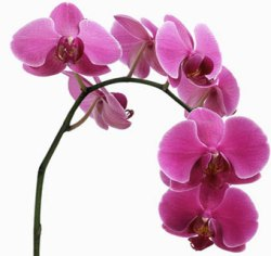 Vase-Life-of-cut-Orchids