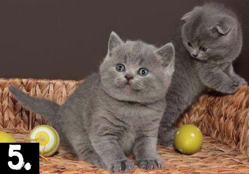 british-shorthair-cat-top-ten-breeds
