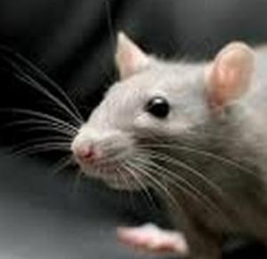 мышь к рассказу