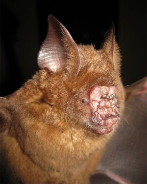 Wpf Media-Live Photos 000 492 Cache New-Leaf-Nosed-Bat-Discovered-Vietnam 49228 600X450