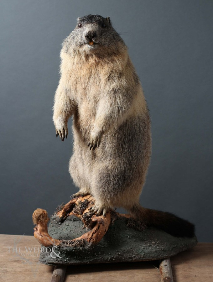 Taxidermy clearance sale