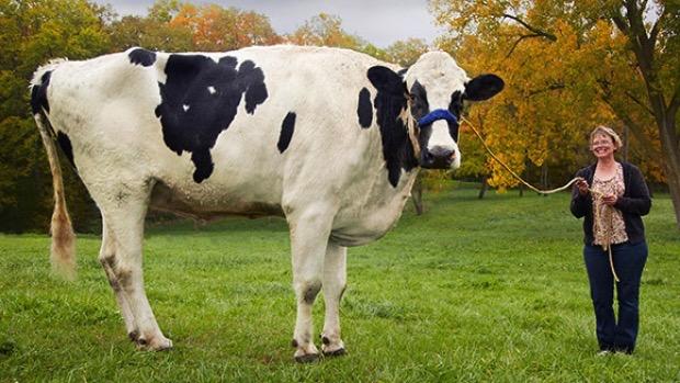 blosom-tallest-cow