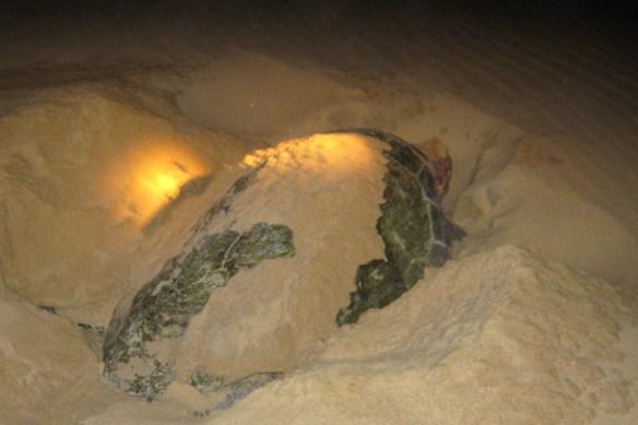 Nesting turtle