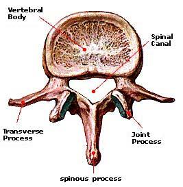 vertebra.jpg