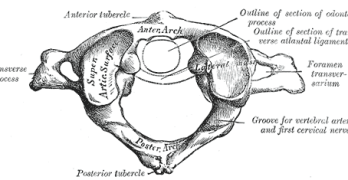 Human Spine-Anatomy of First Cervical Vertebra or Atlas