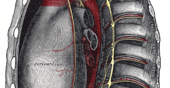 Joints Of The Thorax