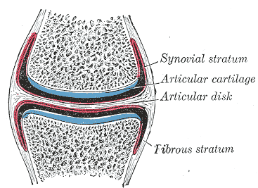 Articular Cartilage Structure and Function | Bone and Spine