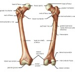 Femur Anatomy and Attachments
