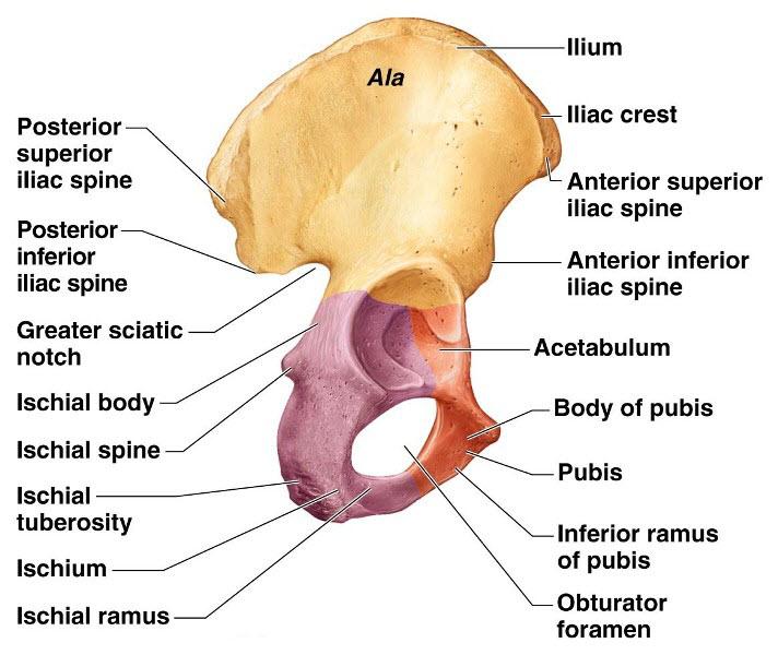 Hip Bone Anatomy or Pelvic BoneIlium-Pubis-Ischium Bone and Spine