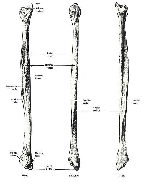 shaft fibula diagram