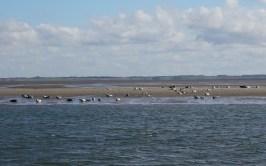 Seehunde vor Sylt