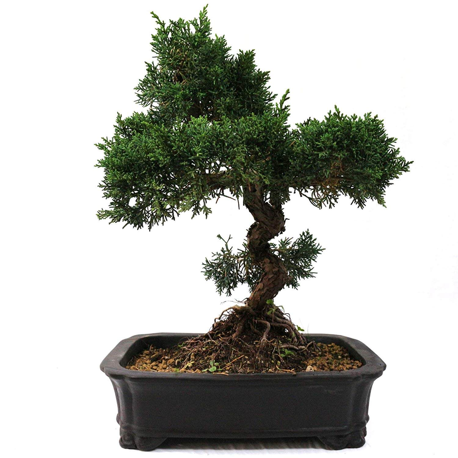 Ginseng Baum Pflege Bonsai Baum Schneiden. Affordable Bonsai Pflege With