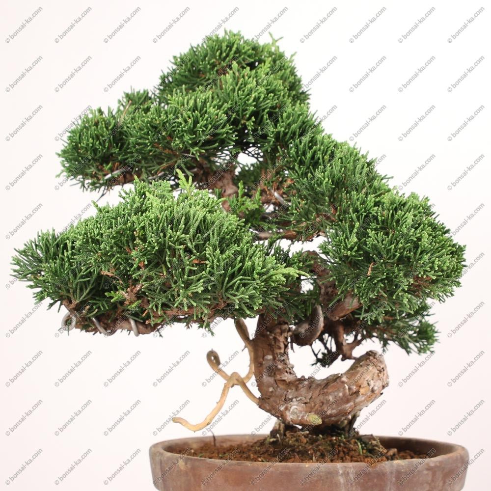Bonsai D Interieur Especes Juniperus Chinensis Itoigawa Bonsaï 25 Cm Import Japon Ref 18109