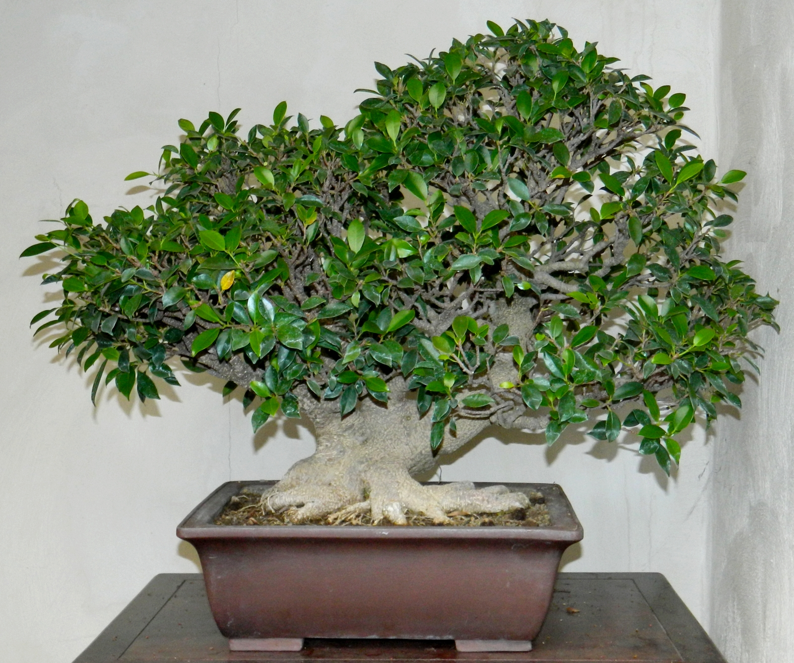 Bonsai Ficus Microcarpa Ginseng Pflege Bonsai Shopping Eu Kopie
