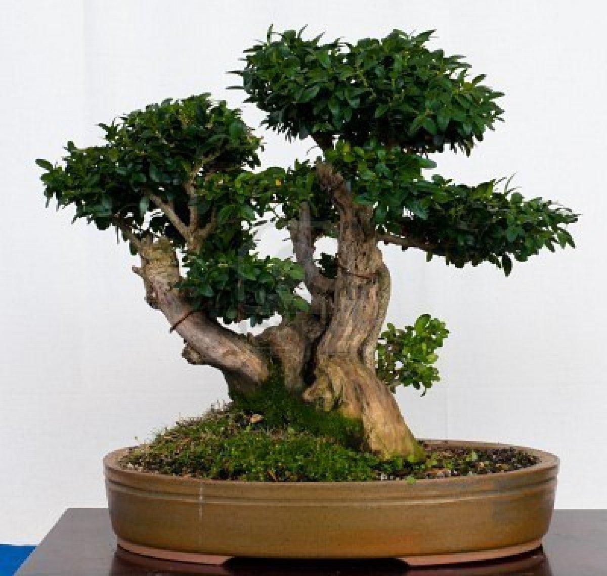 Ficus Ginseng Bonsai Care Of Ficus Microcarpa Ginseng Pflanze Mit