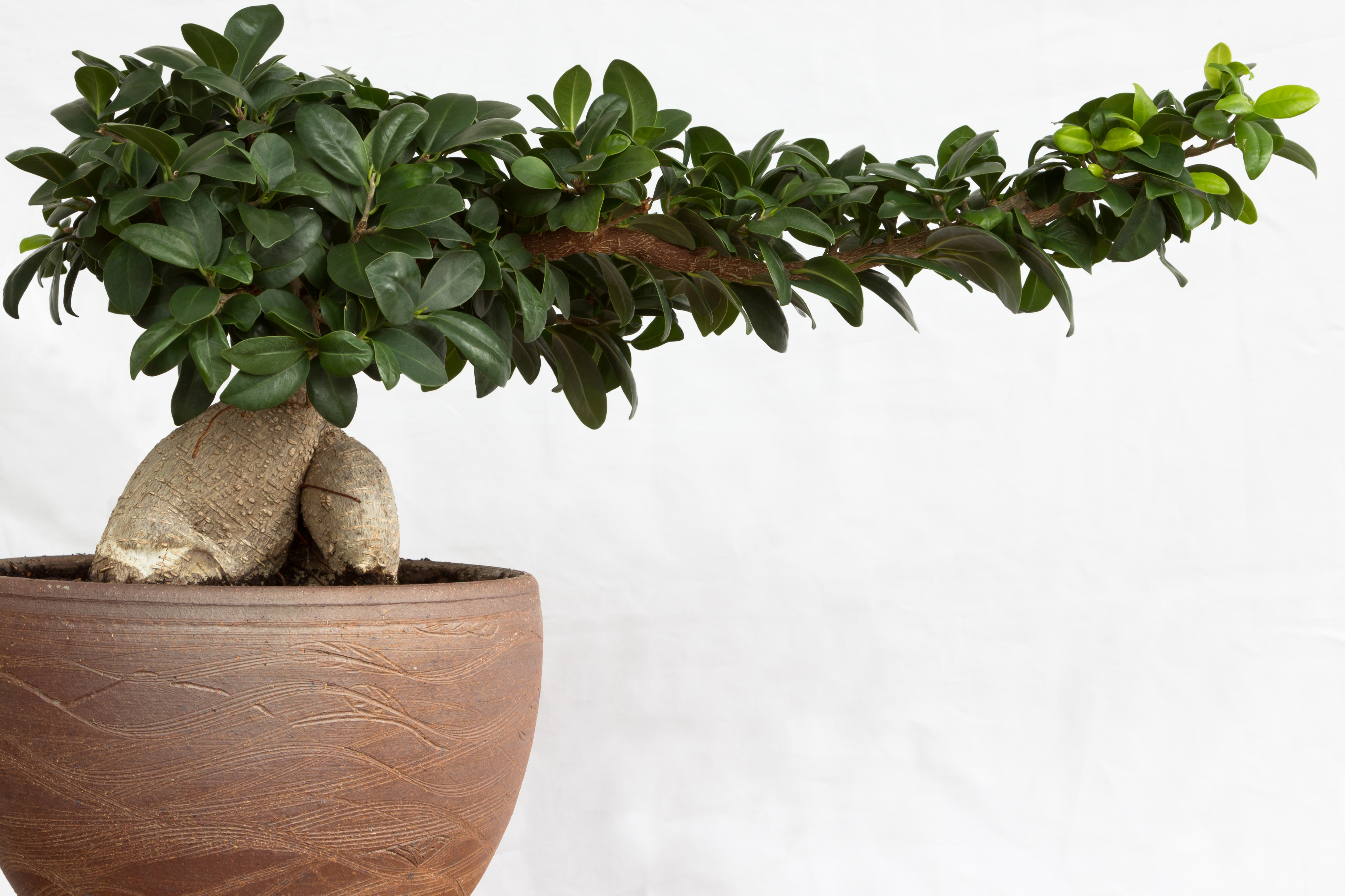 Ginseng Baum Bonsai Ginseng A Symbol For The Asian Culture Bonsai