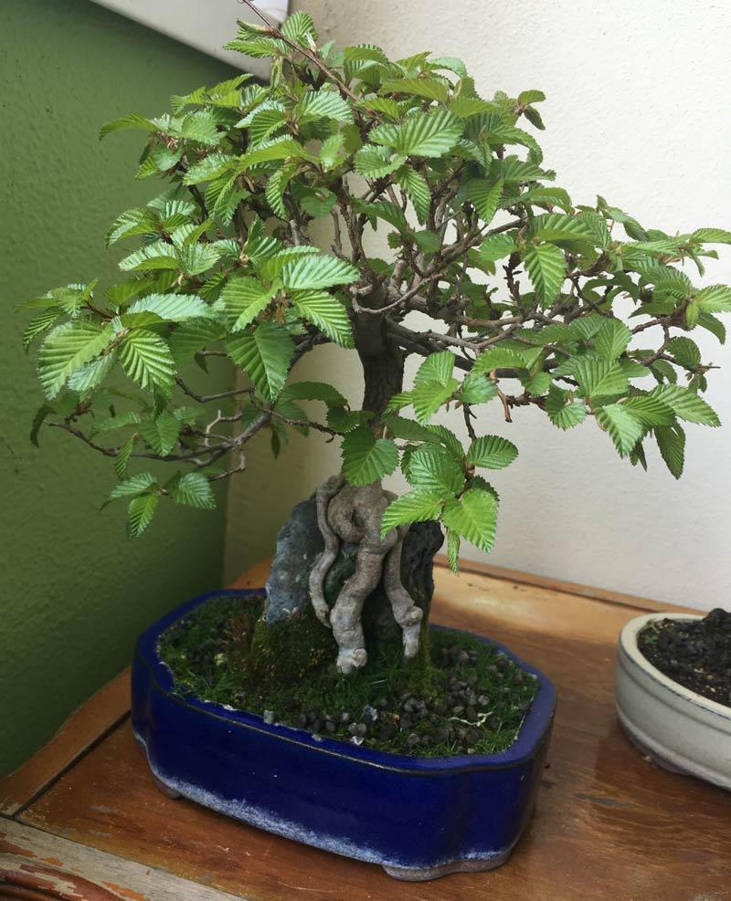 Bonsai Baum Kaufen Ficus Ginseng Bonsai Oder Baum