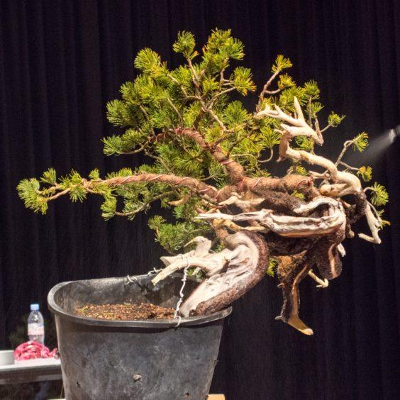 wiring yew bonsai demo
