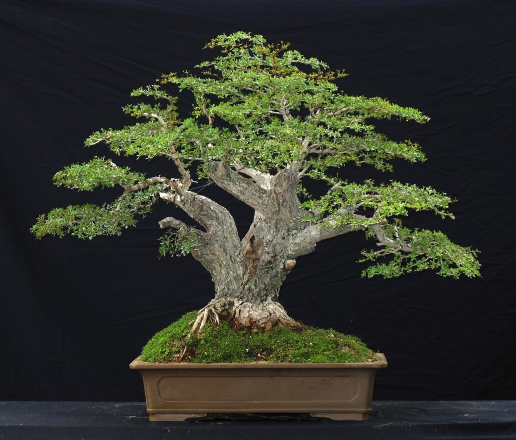 Mimosa Plant Kopen Black Olive Bonsai Tree Care Guide Olea Europaea