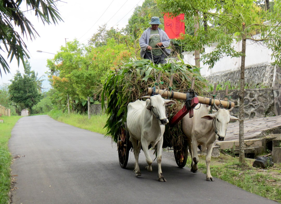 Cow cart in Sulawesi