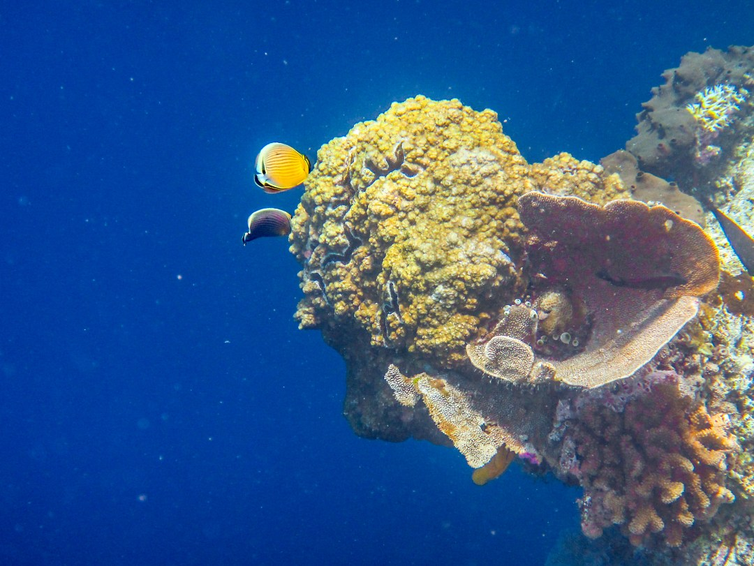 Yellow fish at coral wall in Bunaken for boomervoice