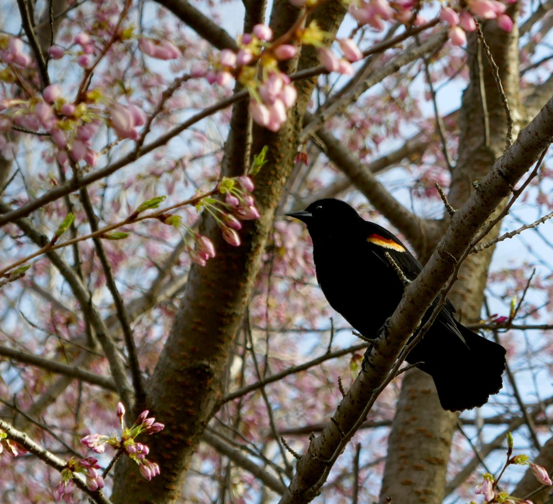 Blackbird in cherry tree in High Park for boomervoice