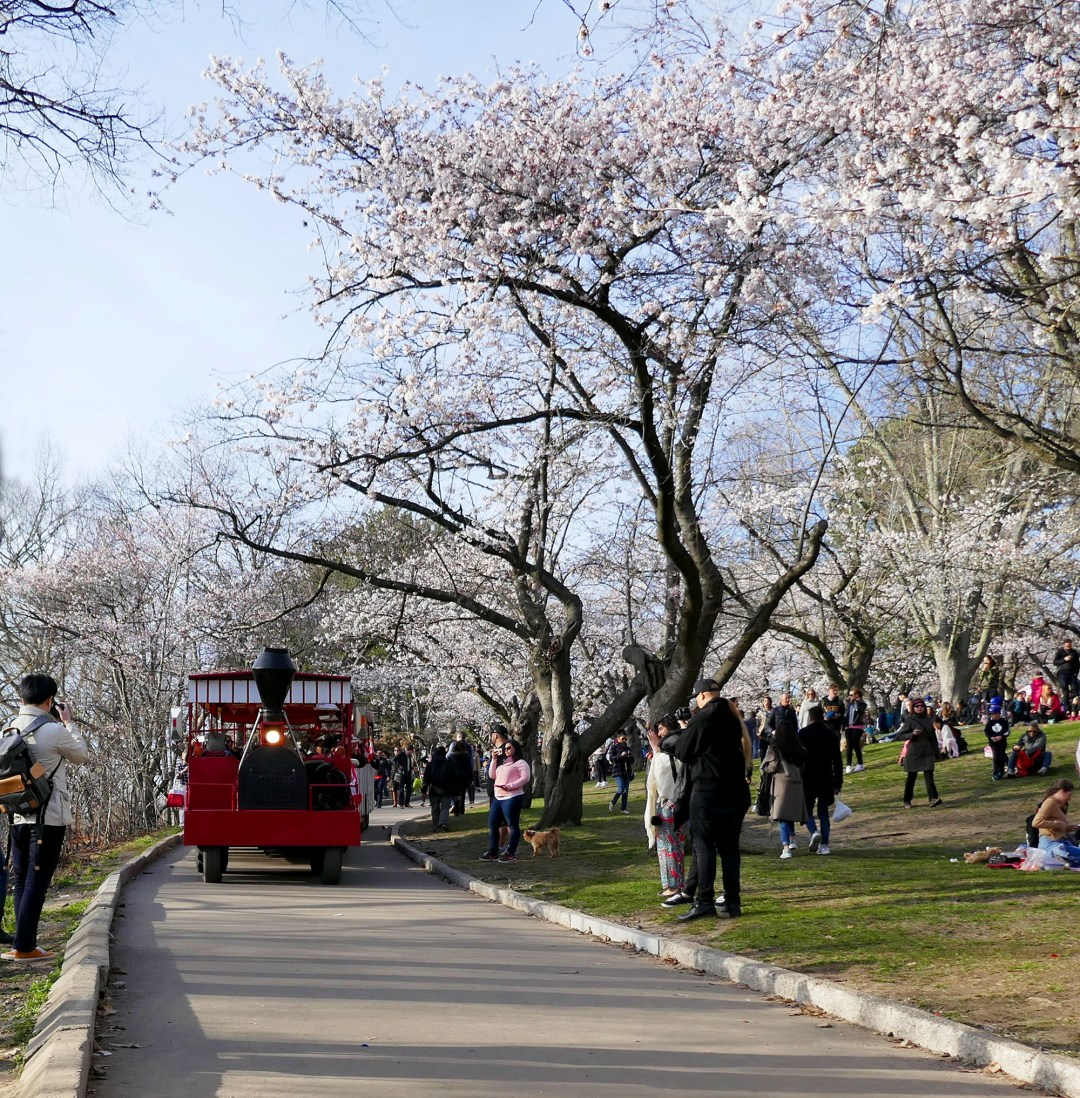 Cherry blossom train in High Park for boomervoice