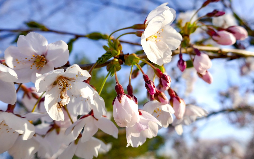Hello Spring! Celebrate Spring at the Cherry Blossom Festival in High Park in Toronto