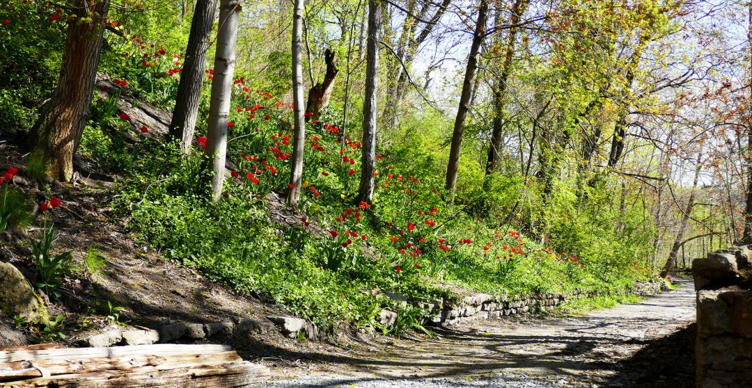Woodland tulips in Riverdale Farm for boomervoice