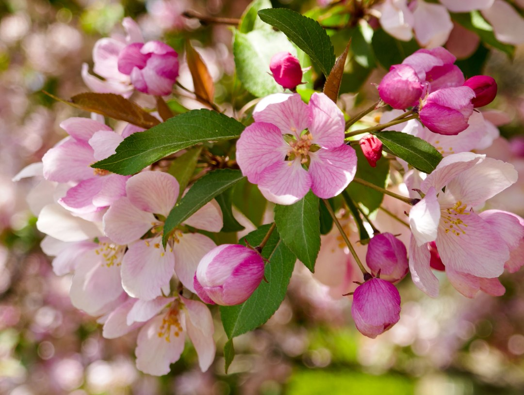 apple blossom on Rideau Canal for boomervoice