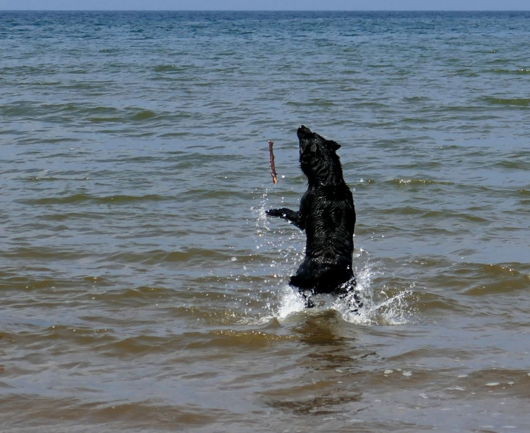 Dog chasing stick at Arisaig beach for boomervoice