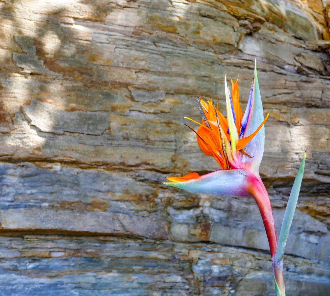 Bird of Paradise at Manly Beach for boomervoice