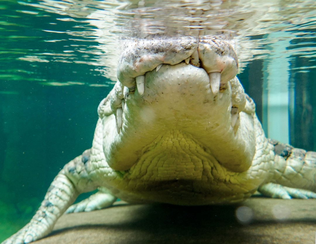 Crocodile closeup at Sydney Wildlife Zoo for boomervoice