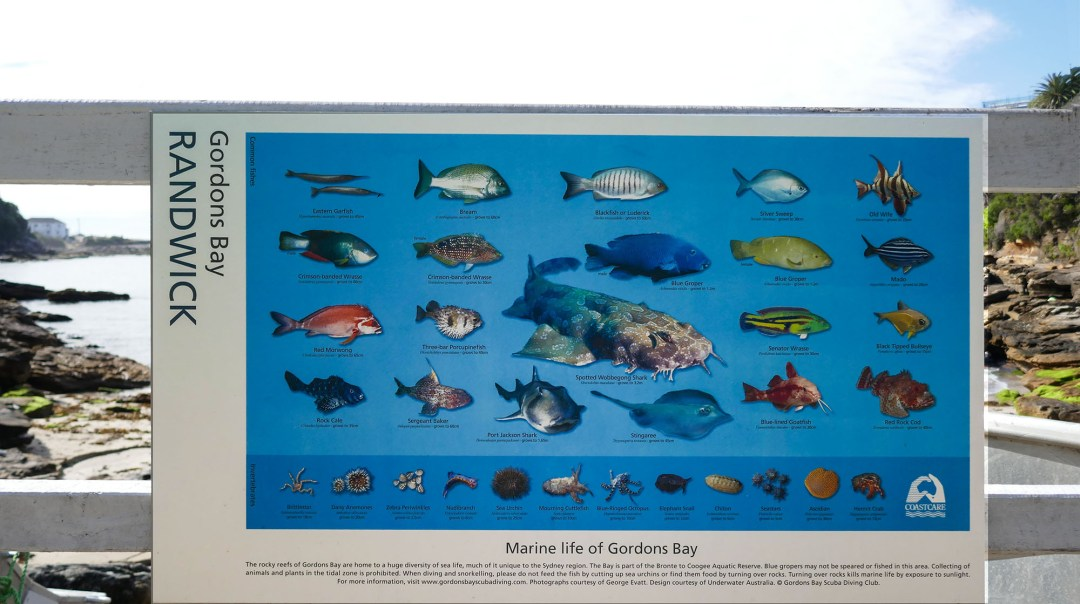 Gordons Bay marine life on Coogee to Bondi walk for boomervoice