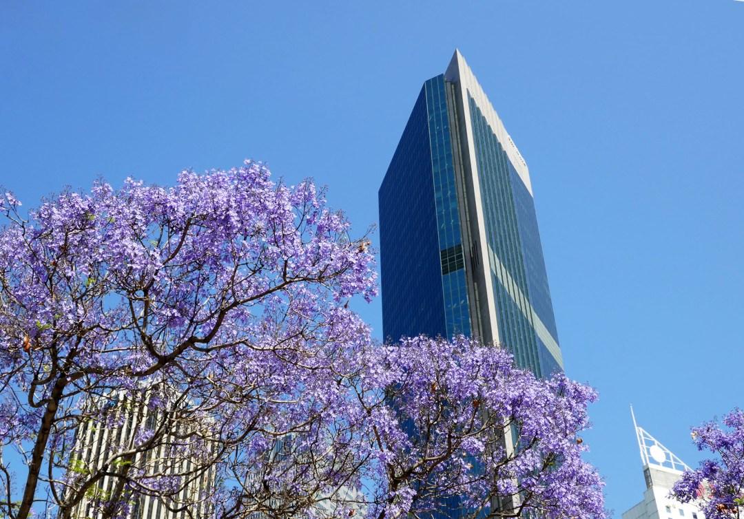 Spring jacaranda blossoms for boomervoice