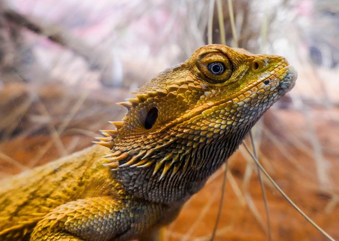 lizard at Sydney Wildlife Zoo for boomervoice