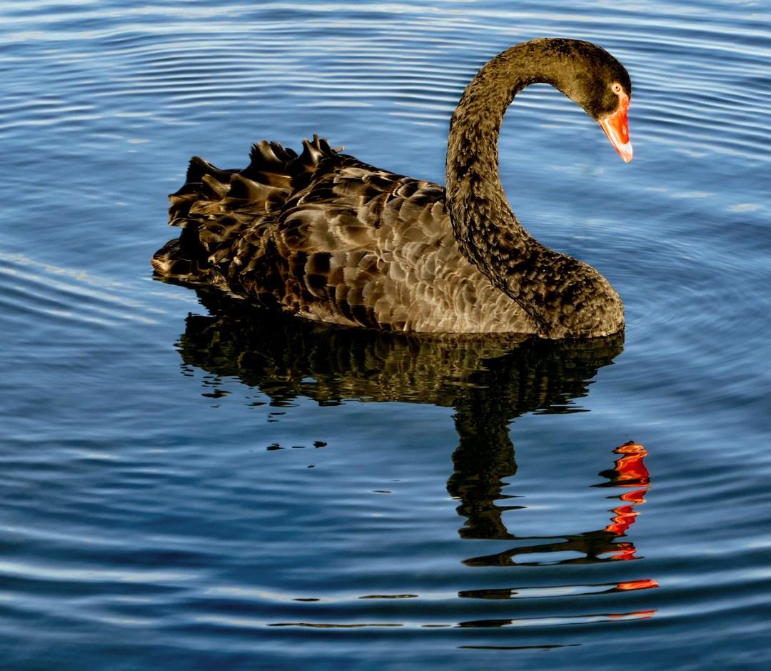 Black swan in Lake Rotorua for boomervoice