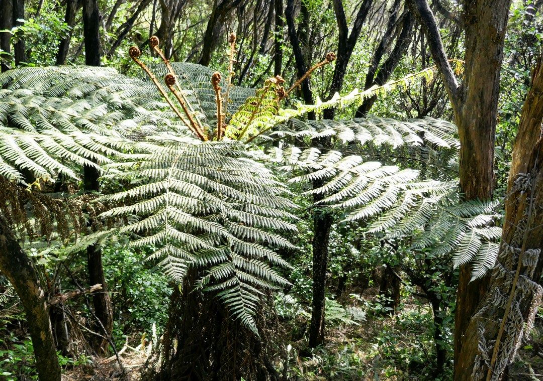 Giant fern in Russell for boomervoice