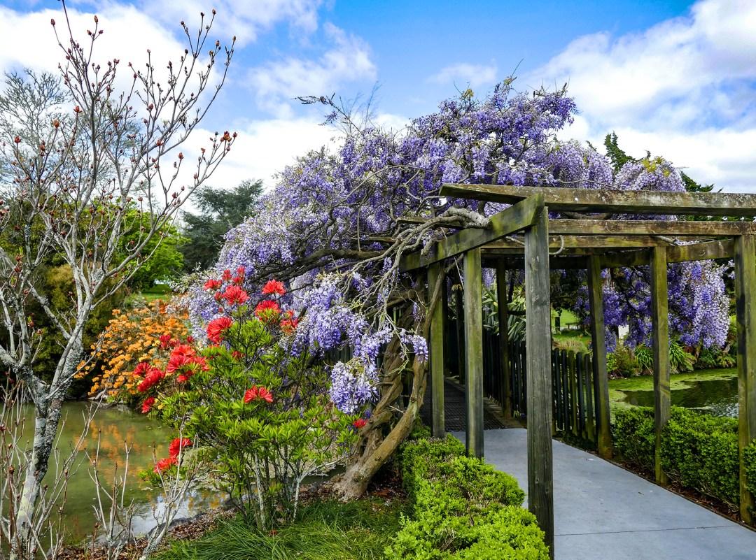 wisteria in Government Gardens in Rotorua for boomervoice