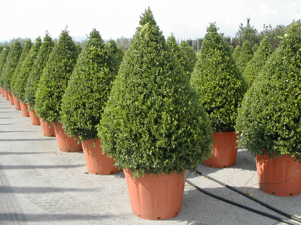 Voeding Buxus Buxus Voeding
