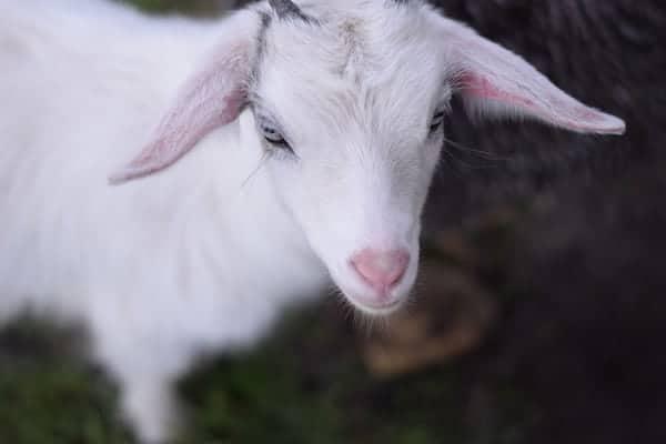 Raising A Pygmy Goat As A Pet Boots Hooves Homestead