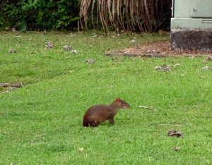 An agouti posing for a photo